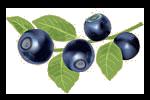 Bild på blåbär