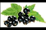 Bild på svartvinbär